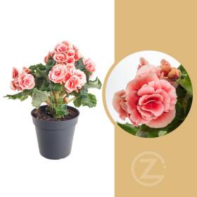 Begónie, Begonia elatior Borias, růžová