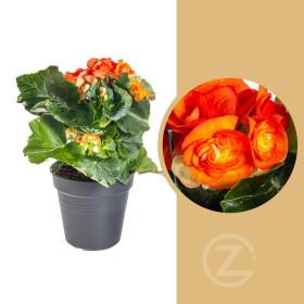 Begónie, Begonia elatior Reina, oranžová