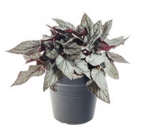 Begónie královská, Begonia Beleaf Arctic Breeze, průměr květináče 17 cm