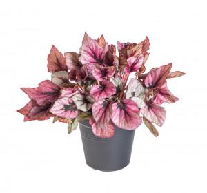 Begónie královská, Begonia Beleaf Indian Summer, průměr květináče 12 cm