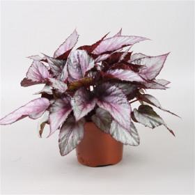 Begónie královská, Begonia Beleaf Maori Haze, průměr květináče 12 cm