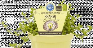 Bio Bacopa drobnolistá, Bacopa monnieri - Brahmi, v květináči