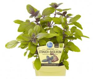 Bio Bazalka robustní, Ocimum kilimandscharicum, v květináči