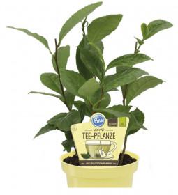 Bio Čajovník, Camellia sinensis thee, v květináči