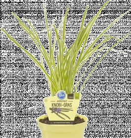 Bio Česneková tráva, Tulbaghia violacea, v květináči