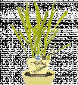 Bio Citrónová tráva, Cymbopogon citratus, v květináči