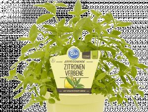 Bio Citronová verbena, Lippia citriodora, v květináči