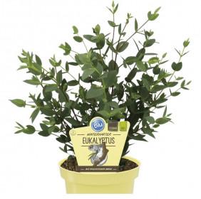 Bio Eukalypt, Eucalyptus parvula, v květináči