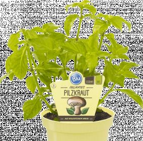 Bio Houbová bylinka, Rungia klossii, v květináči