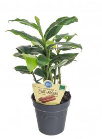 Bio Kardamovník, Elettaria cardamomum, v květináči
