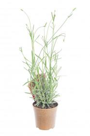 Bio Levandule lékařská, Lavender angustifolia EATME, v květináči