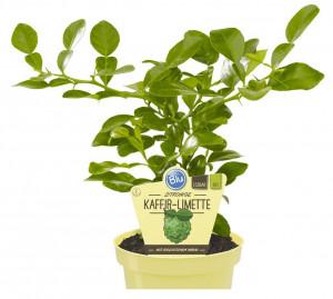 Bio Limeta kafrová, Citrus hystrix, v květináči