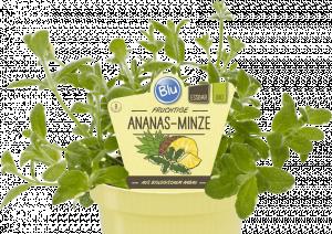 Bio Máta ananasová, Mentha suaveolens Variegata, v květináči