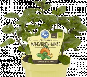 Bio Máta mandarinková, Mentha piperita Tachi, v květináči