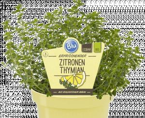 Bio Mateřídouška citronová, Thymus citriodorus, v květináči