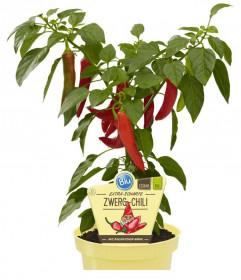 Bio Paprika extra pálivá, Capsicum annuum, v květináči