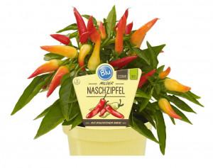 Bio Paprika jemně pálivá, capsicum annuum, v květináči