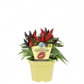 Bio Paprika pálivá, Capsicum annuum, v květináči