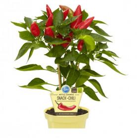 Bio Paprika středně pálivá, capsicum annuum, v květináči