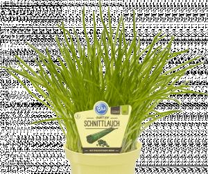 Bio Pažitka pobřežní, Allium schoenoprasum, v květináči