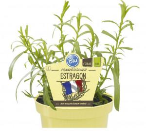 Bio Pelyněk estragon, Artemisia dracunculus, v květináči