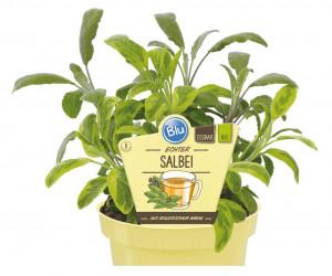Bio Šalvěj lékařská, Salvia officinalis, v květináči
