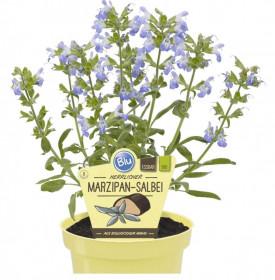 """Bio Šalvěj marcipánová, Salvia officinalis """"Nazareth"""", v květináči"""