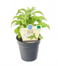 Bio Stévie sladká, Stevia rebaudiana, v květináči