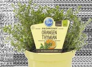 Bio Tymián pomerančový, Thymus citriodorus, Fragrantissimus orange, v květináči