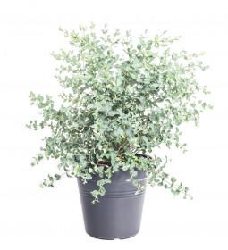 Blahovičník Gunnův, Eucalyptus gunnii, průměr květináče 17 - 19 cm