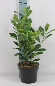 Bobkovišeň lékařská, Prunus laurocerasus Caucasica, velikost kontejneru 5 l
