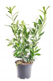 Bobkovišeň lékařská, Prunus laurocerasus Caucasica, velikost kontejneru 7.5 l