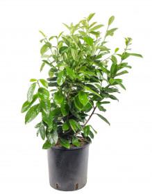 Bobkovišeň lékařská, Prunus laurocerasus Novita, velikost kontejneru 10 l