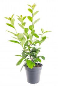 Bobkovišeň lékařská, Prunus laurocerasus Novita, velikost kontejneru 3 l