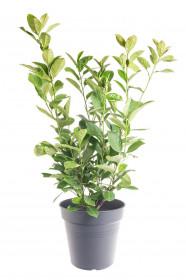 Bobkovišeň lékařská, Prunus laurocerasus Rotundifolia, velikost kontejneru 5 l