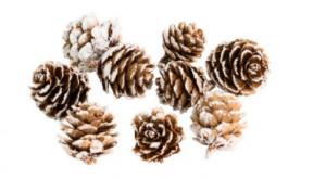 Borovicové šišky, zasněžené, přírodní-bílá