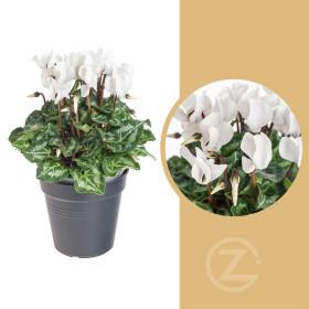 Brambořík, Cyclamen, bílý, průměr květináče 10 - 11 cm