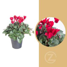 Brambořík, Cyclamen, červený, průměr květináče 10 - 11 cm
