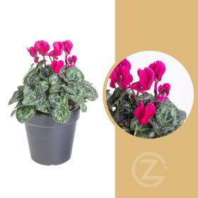 Brambořík, Cyclamen, fialový, průměr květináče 10 - 11 cm
