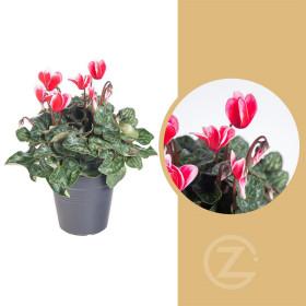 Brambořík, Cyclamen, růžovo - bílý, průměr květináče 10 - 11 cm