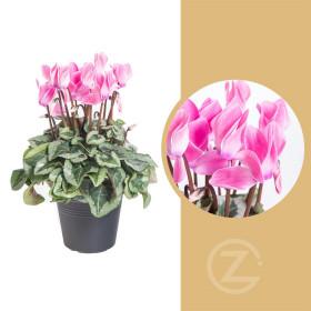 Brambořík, Cyclamen, světle růžový, průměr květináče 10 - 11 cm