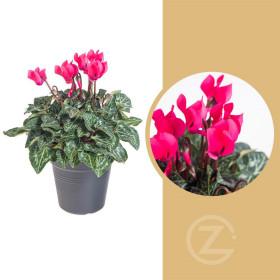 Brambořík, Cyclamen, tmavě růžový, průměr květináče 10 - 11 cm