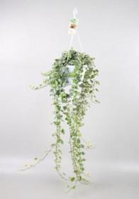 Břečťan popínavý pokojový, Hedera helix, závěs, panašovaný, průměr květináče 17 cm