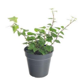Břečťan popínavý pokojový, Hedera helix, zelený, průměr květináče 9 cm