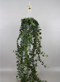 Břečťan popínavý pokojový, Hedera helix, zelený, závěs, průměr květináče 17 cm