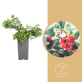 Brusinka obecná, Vaccinium vitis-idaea Miss Cherry