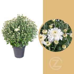 Chryzantéma, Chrysanthemum, kompaktní rostlina 30 - 35 cm, bílá