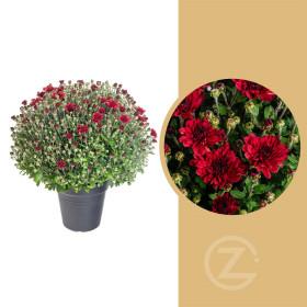 Chryzantéma, Chrysanthemum, kompaktní rostlina 30 - 35 cm, červená