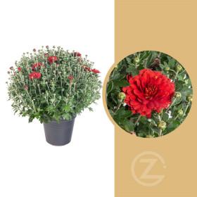 Chryzantéma, Chrysanthemum, kompaktní rostlina 30 - 35 cm, cihlová