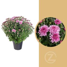 Chryzantéma, Chrysanthemum, kompaktní rostlina 30 - 35 cm, fialová